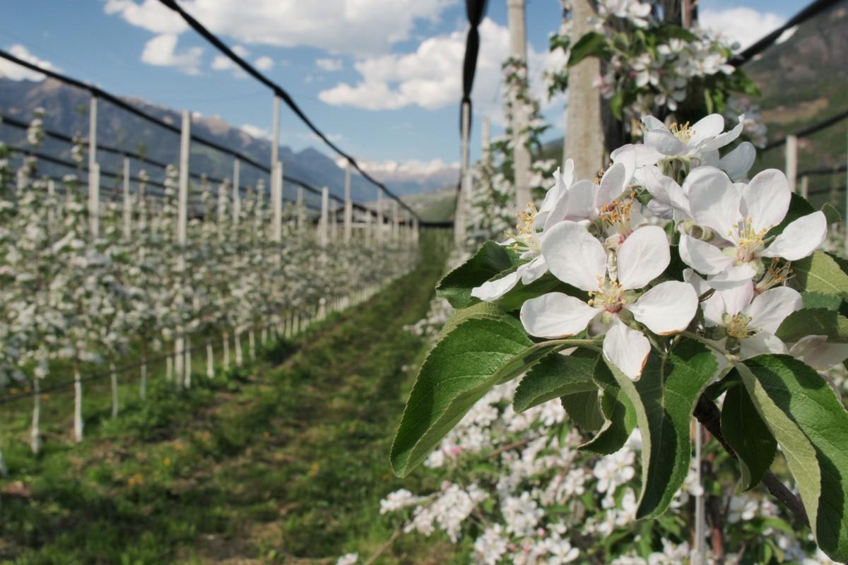 Blühende Apfelplantagen bei Meran im Südtiroler Etschtal mit Blick Richtung Vinschgau