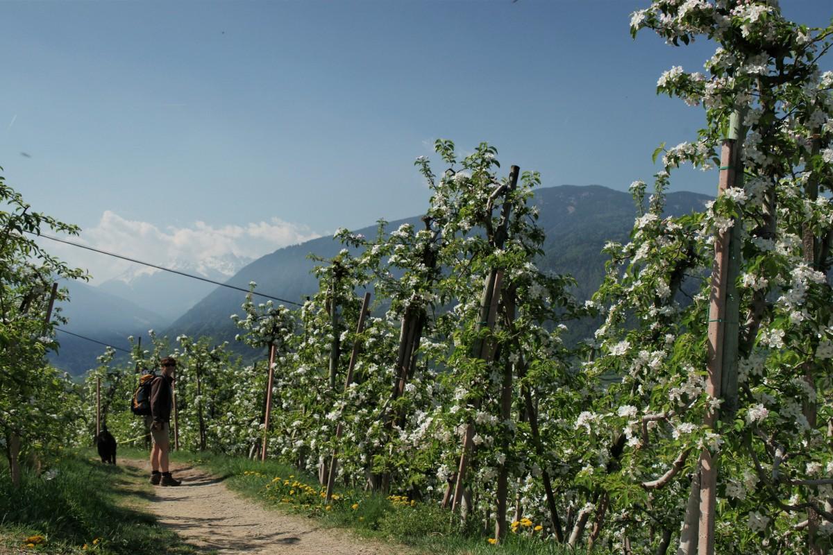 Au dem Waalweg mit Hund zwischen Apfelblüten in Südtirol