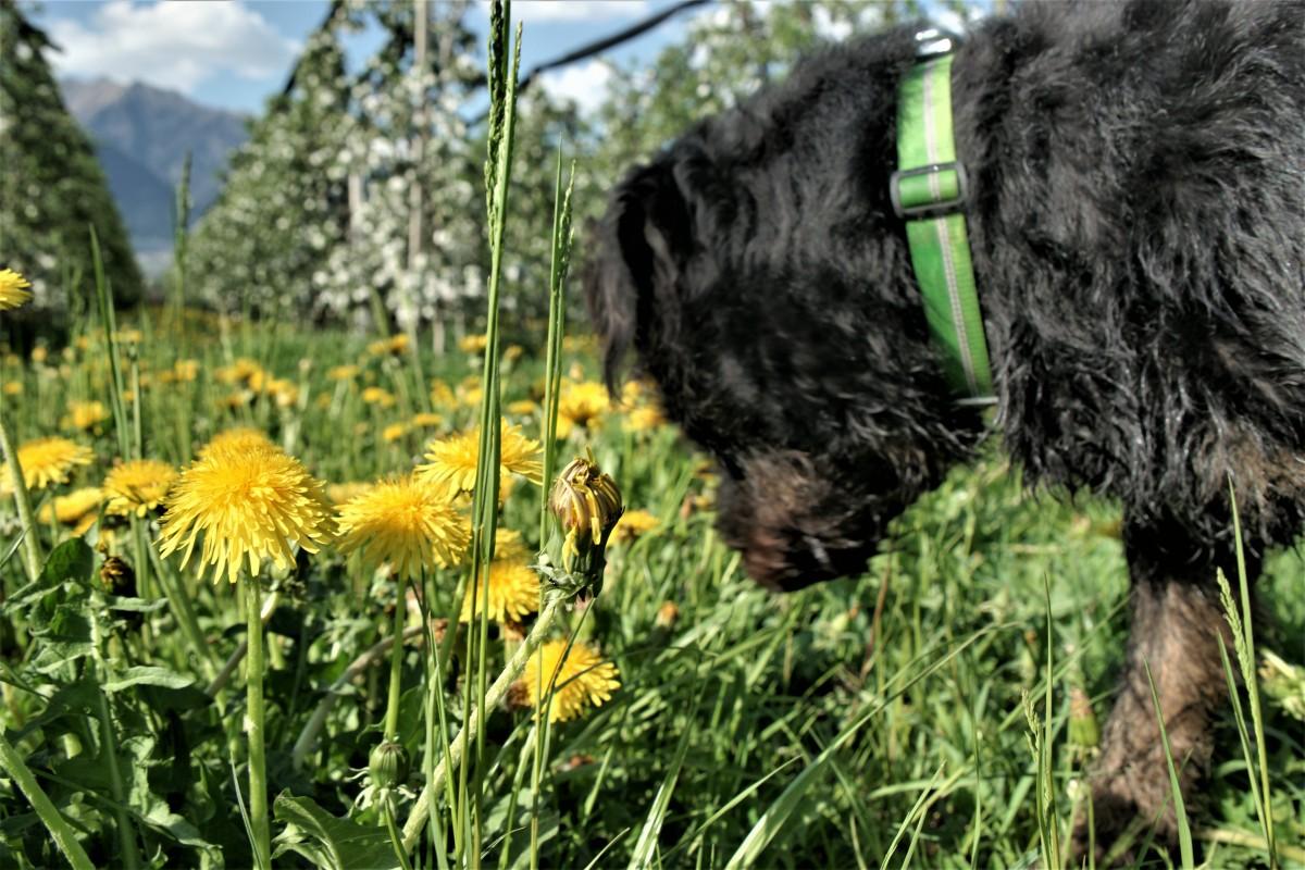 Hund schnuppert an Gras mit Apfelblüten im Hintergrund die Südtiroler Berge