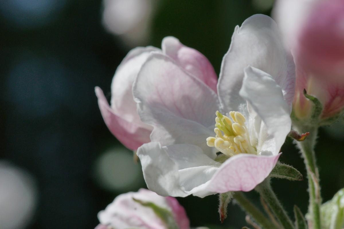 Rosa-weisse Apfelblüte auf einer der Apfelplantagen im Meraner Land in Südtirol