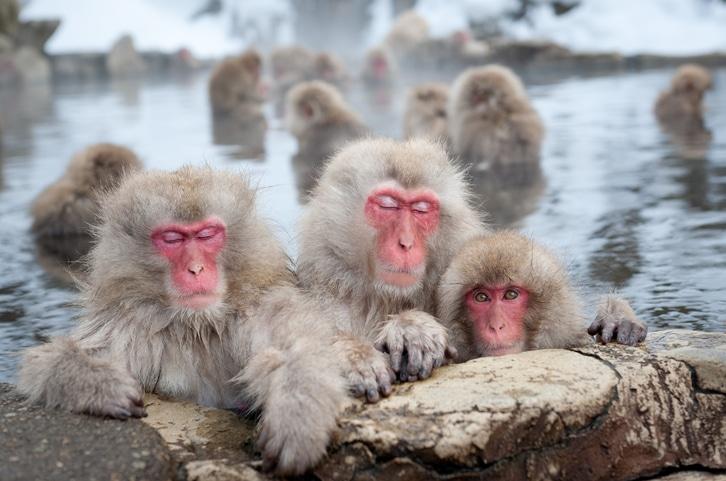 Schneeaffen in Thermalquelle badend in Japan