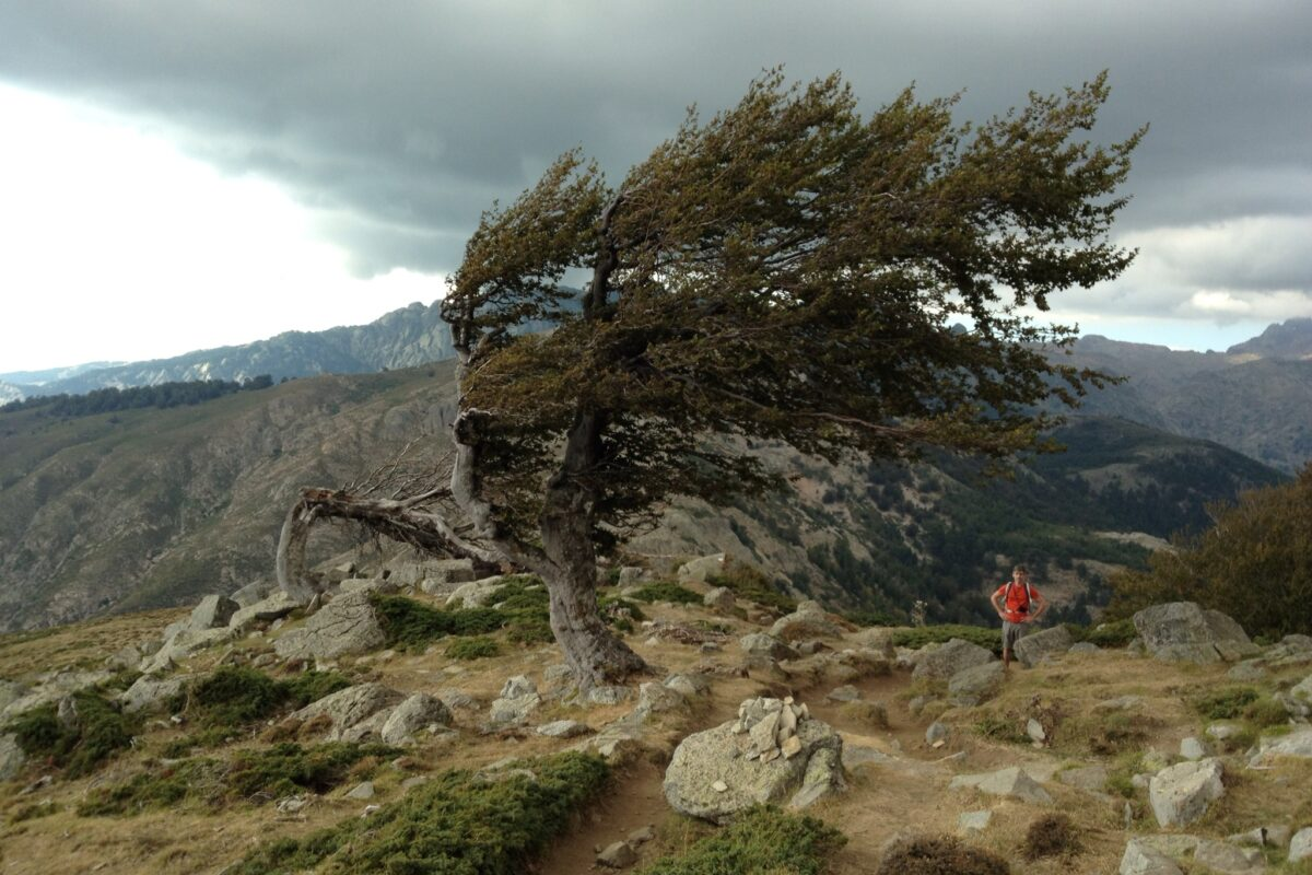 Sturmgepeitschte Kiefern zeugen von den schnell wechselnden Wettern in den Bergen. Wanderer müssen unbedingt die Naturgewalten Korsikas ernst nehmen