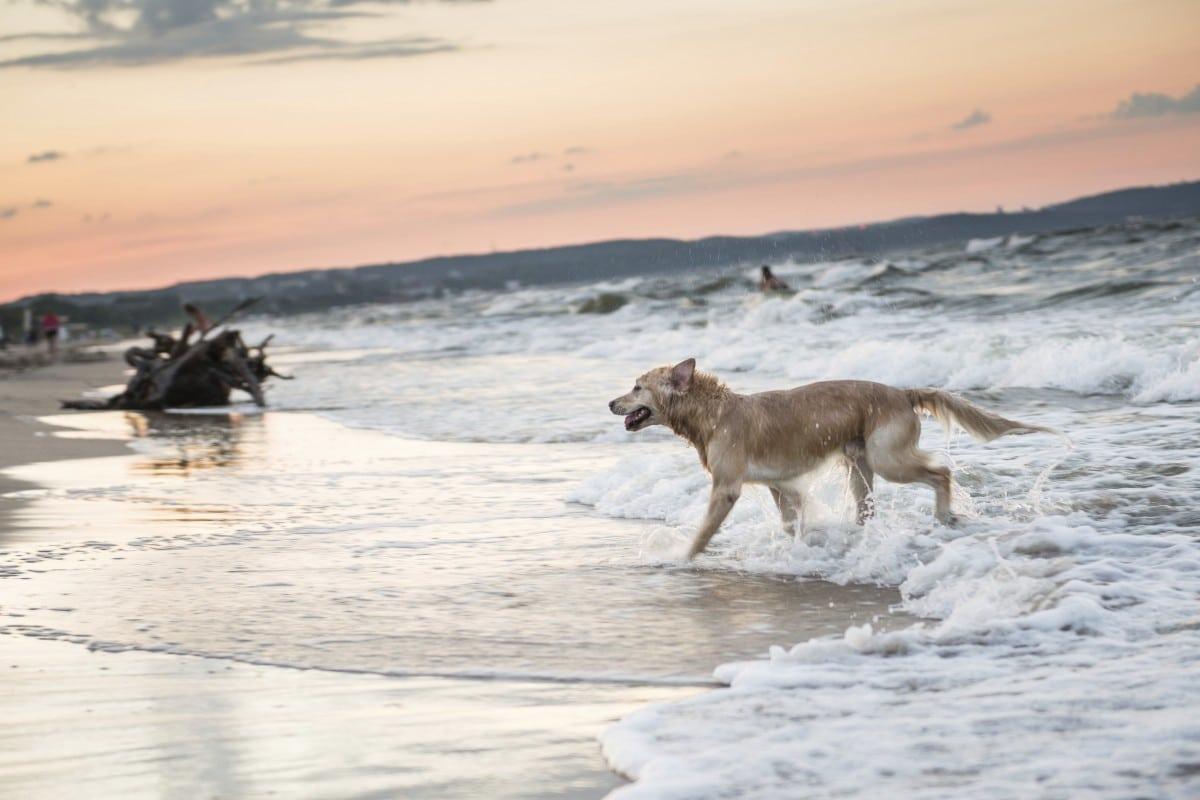Ostsee-Urlaub mit Hund: über 60 Hundestrände stehen zwischen Ahlbeck und Zinnowitz für vierbeinige Gäste bereit