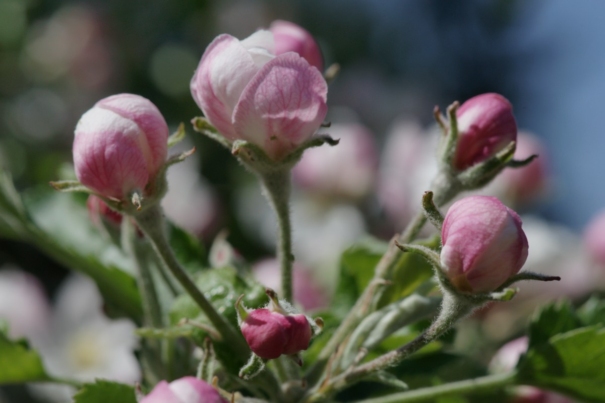 Rosa weisse Apfelknospen zur Apfelblüte in Südtirol