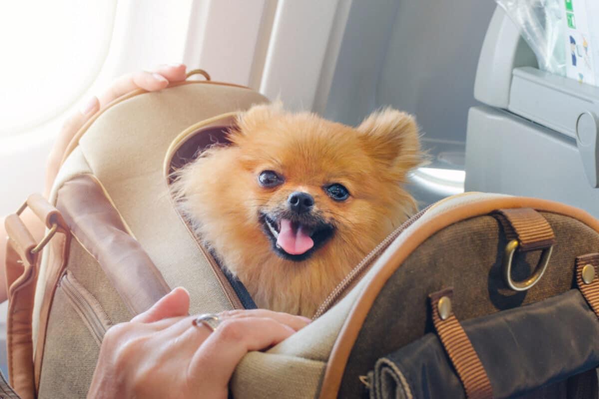 Hund im Flugzeug in der Transporttasche